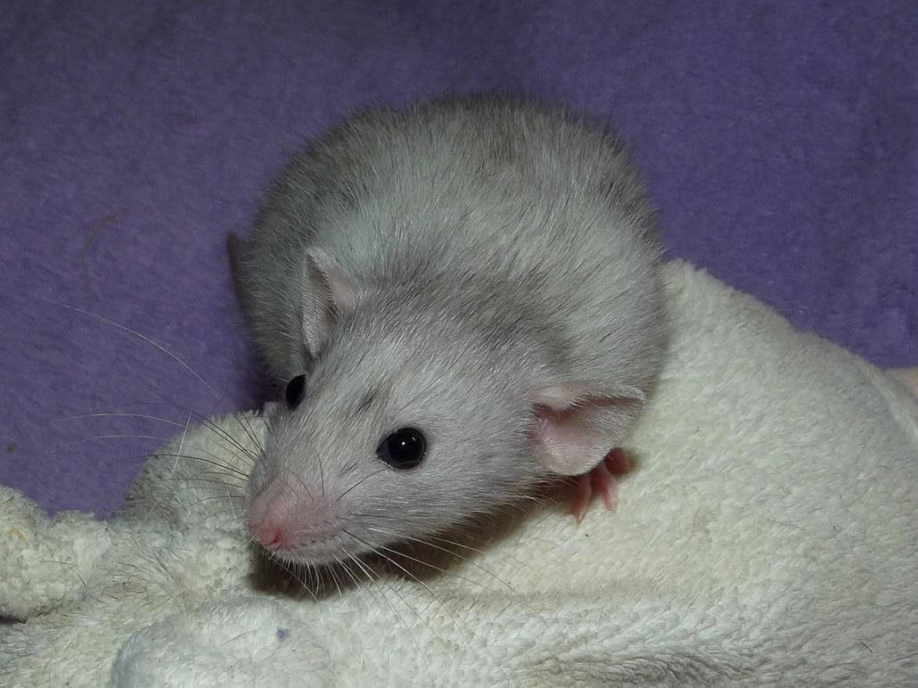 Dumbo Ratte große Ohren