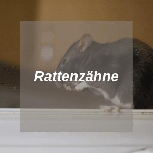 Ratten Zähne