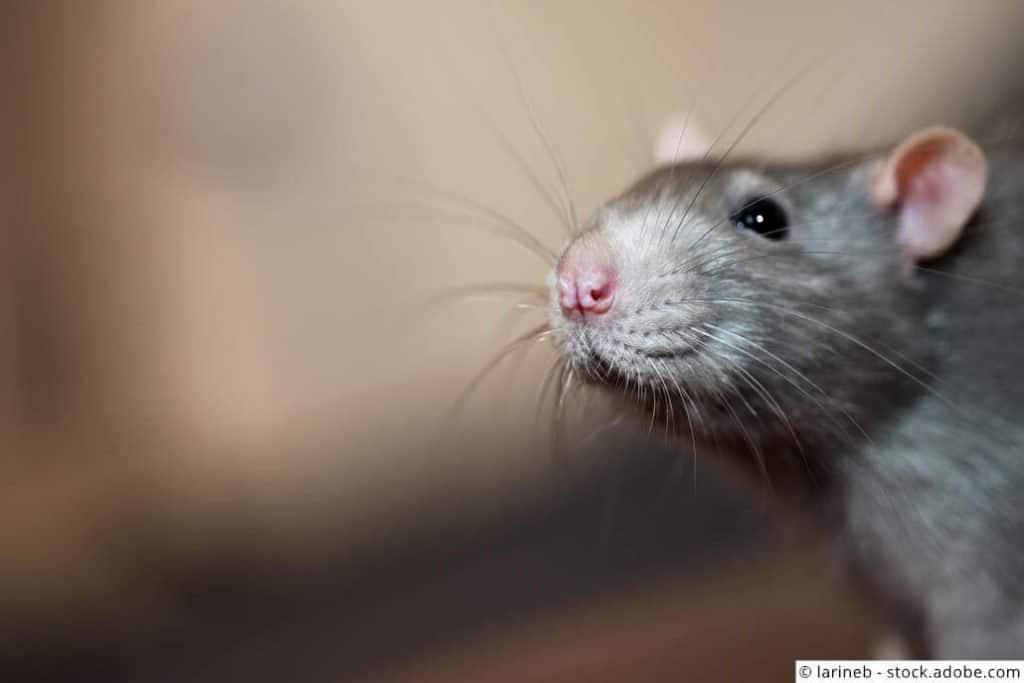 Graue Ratte mit rosa Ohren