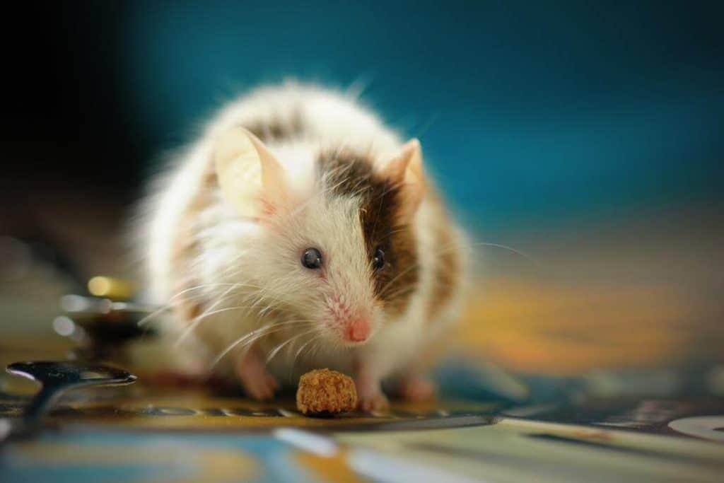 Maus als Haustier