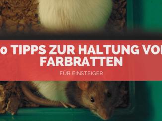 Ratten Haltung - FB
