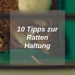 Ratten-Haltung-HUB