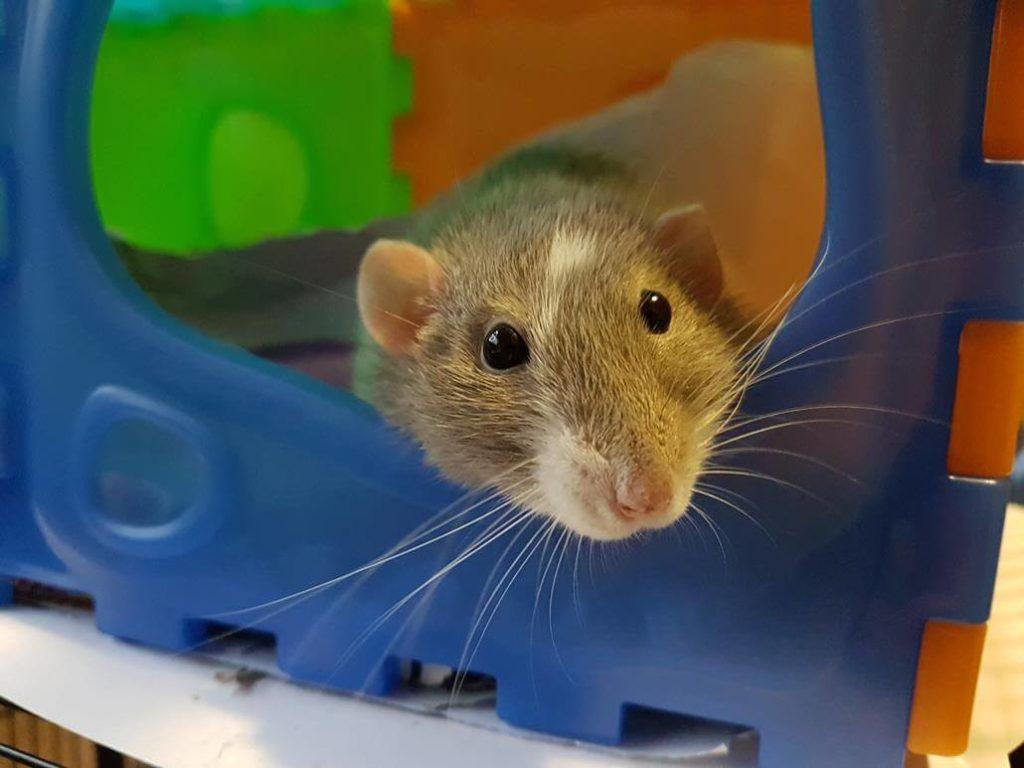 Ratten kosten