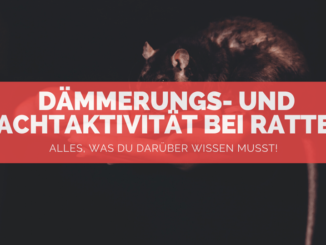 Ratten nachtaktiv - FB