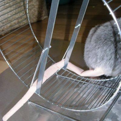 Rattenschwanz im Laufrad (1)