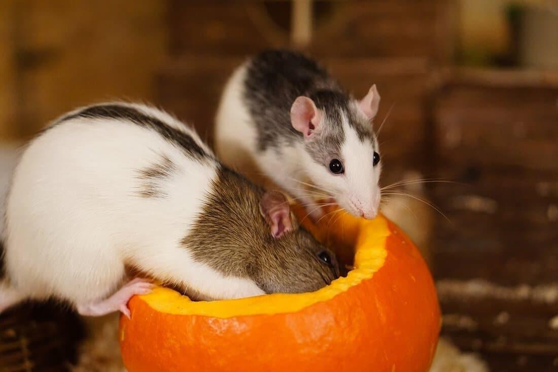 Zwei Ratten beschäftigen sich mit einem Kürbis