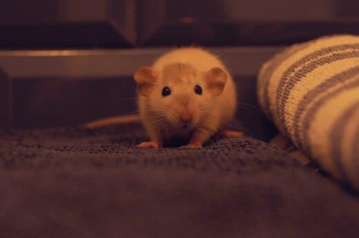 Ratten Haltung in der Wohnung für Anfänger