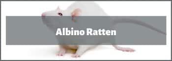 Albino Ratten