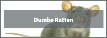 Dumbo Ratten