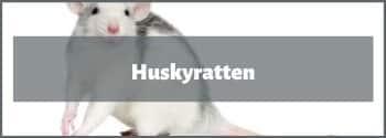 Husky Ratten