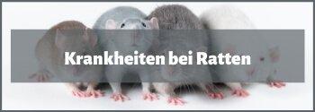 Krankheiten bei Ratten