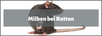 Milben bei Ratten