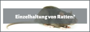 Einzelhaltung von Ratten?