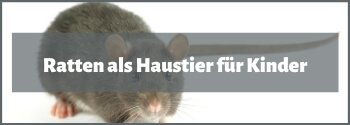Ratten als Haustier für Kinder