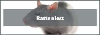 Ratte niest