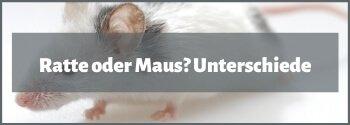 Maus oder Ratte als Haustier