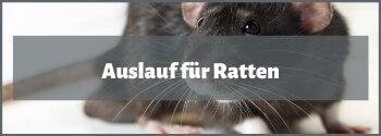 Ratten Auslauf