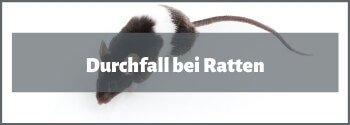 Durchfall bei Ratten