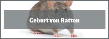 Ratten Geburt