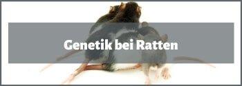 Ratten Genetik