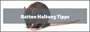 Ratten Haltung Tipps