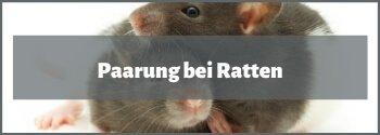 Ratten Paarung