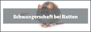 Ratten Schwangerschaft