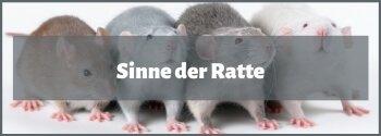 Ratten Sinne