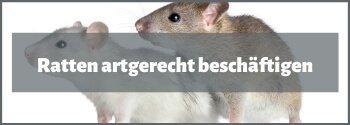 Ratten beschäftigen