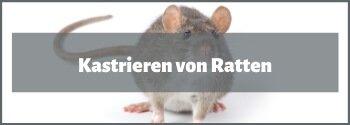 Ratten kastrieren