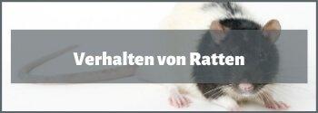 Verhalten von Ratten