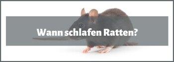 Wann schlafen Ratten?
