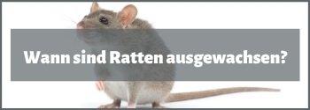wann sind ratten ausgewachsen
